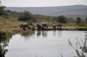 Elephants at Kichaka